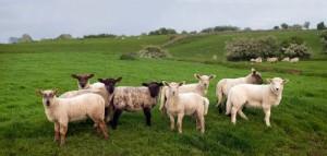 lambs - ireland